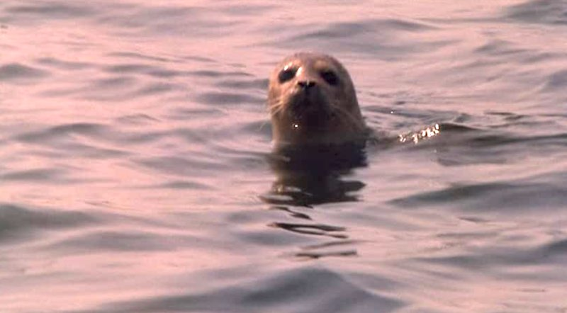 A seal watching Fiona in The Secret of Roan Inish